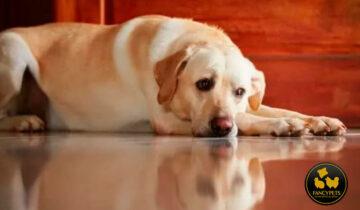 Adiestramiento de perros con ansiedad por separación – Cómo entrenarlos para estar solos